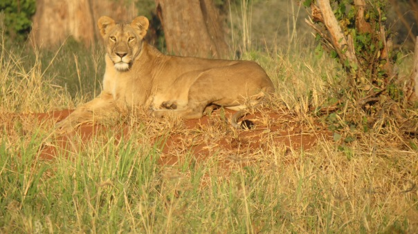 Safari Lodge : A lloness in Tarangire national park in Tanzania