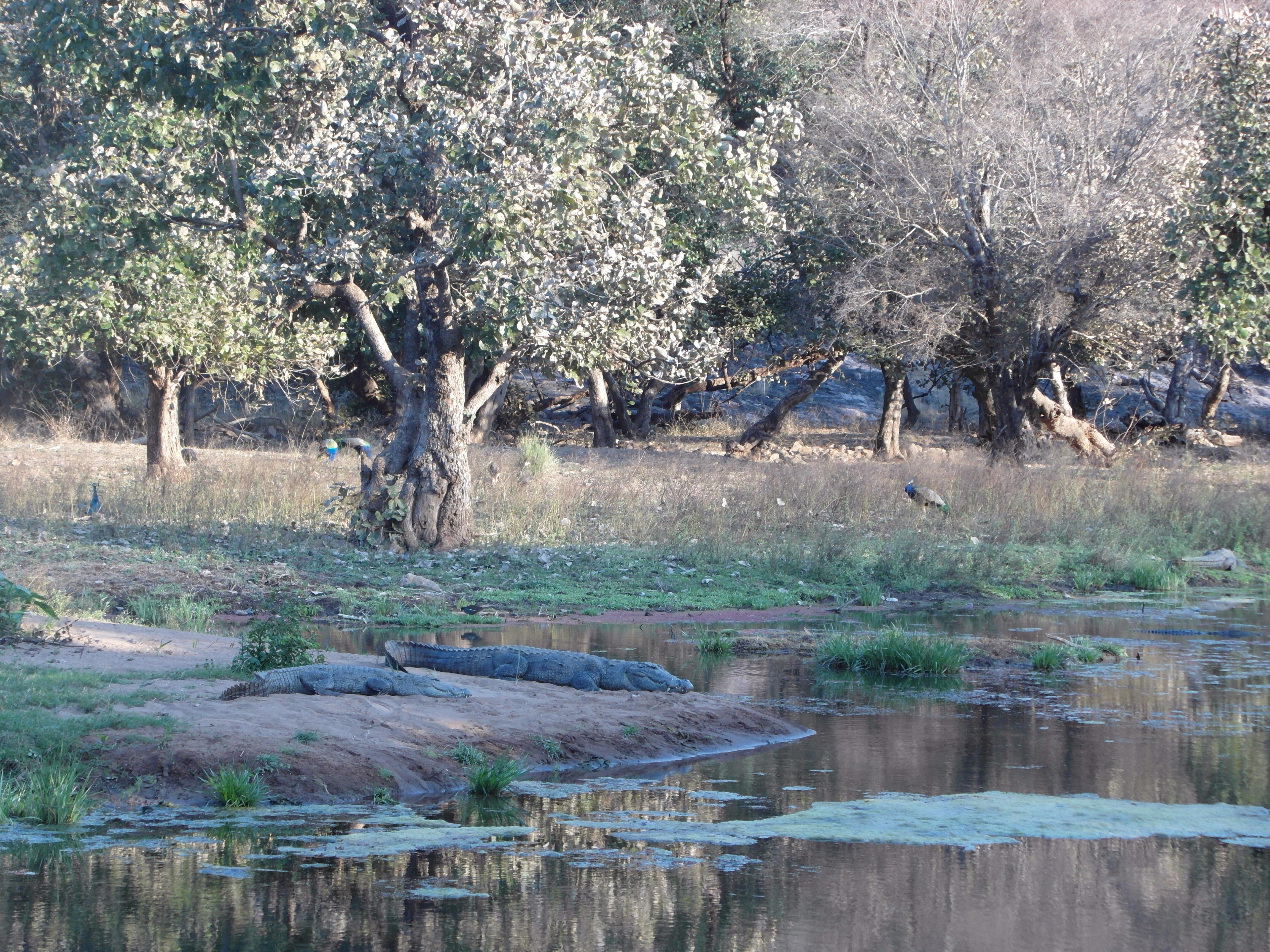 Crocodiles and peacocks at the Ranthambore Tiger Reserve